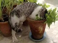 猫薄荷对猫有什么影响?猫薄荷是什么?