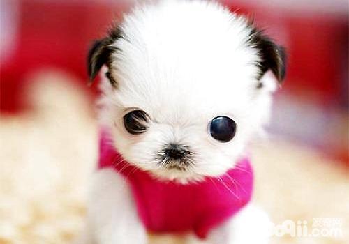 茶杯犬多少钱一只?茶杯犬饲养注意事项