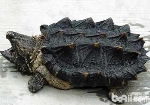 鳄鱼龟多少钱一只?鳄鱼龟怎么饲养?
