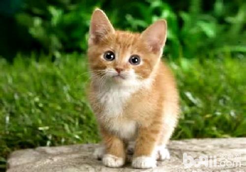 中华田园猫多少钱一只?带你了解真正的中华田园猫