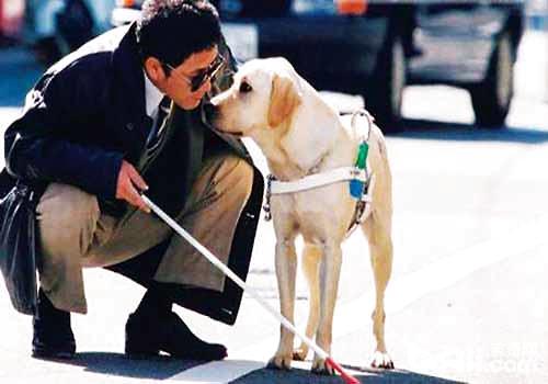 导盲犬小q是什么狗