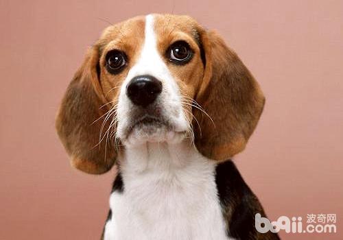 比格犬多少钱一只?怎么饲养比格犬?