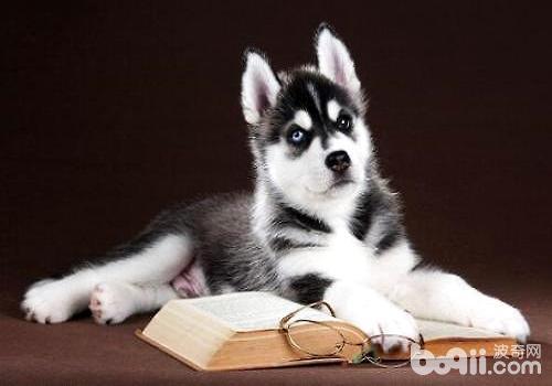 哈士奇幼犬多少钱一只?哈士奇幼犬怎么饲养?
