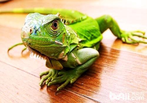 绿鬣蜥多少钱一只?怎么饲养绿鬣蜥?