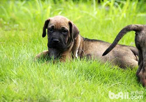 十大猛犬排行榜,你都知道有哪些吗?