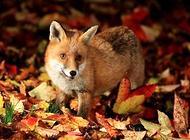 宠物狐狸有哪几种?常见的宠物狐狸介绍