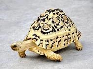 豹龟多少钱一只?豹龟价格