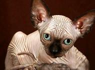 斯芬克斯猫多少钱一只?斯芬克斯猫价格盘点