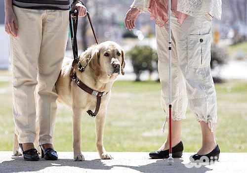 导盲犬价格是多少,导盲犬多少钱一只?
