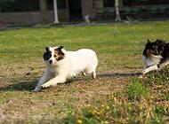 牧羊犬吃什么比较好?