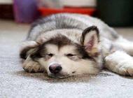 狗狗四肢无力是什么原因?