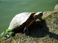 乌龟怎么养?饲养乌龟要注意的问题
