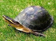 安布闭壳龟怎么饲养?安布闭壳龟饲养技巧