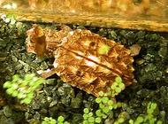 枯叶龟多少钱一只?枯叶龟市场价格