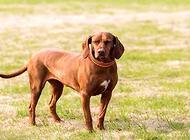 常见的猎犬都有哪些?
