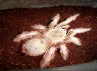 宠物蜘蛛有哪些?适合新手饲养的宠物蜘蛛
