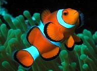 小丑鱼怎么饲养?小丑鱼饲养介绍