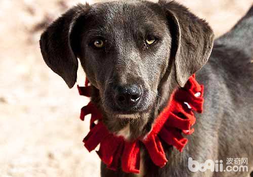 狗狗佩戴项圈的注意事项都有哪些?