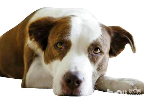 狗狗绝育的优点和缺点都有哪些?