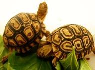 豹龟感冒怎么治疗?豹龟感冒治疗方法