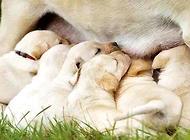 狗狗生产前的预兆有哪些?