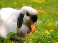 怎样让兔子快速怀孕?兔子怀孕注意事项