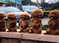 泰迪为什么会站着走路?泰迪犬站着走路的危害有哪些?