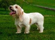 迷你贝吉格里芬凡丁犬怎么样 迷你贝吉格里芬凡丁犬好养吗
