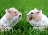 饲养仓鼠的注意事项都有哪些?