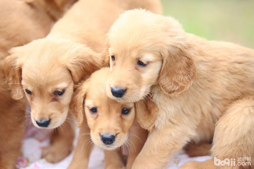 盘点最难训练的六种狗狗,二哈上榜