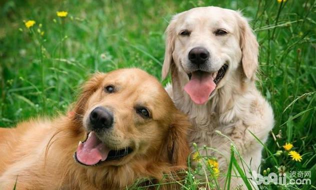 狗狗配種前需要檢查的項目都有哪些?