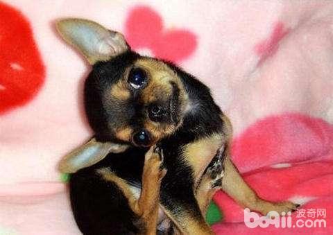 狗狗耳螨怎么办 狗狗耳螨有哪些症状