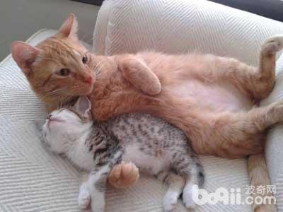 猫咪直肠堵塞怎么办?猫咪直肠堵塞治疗方法