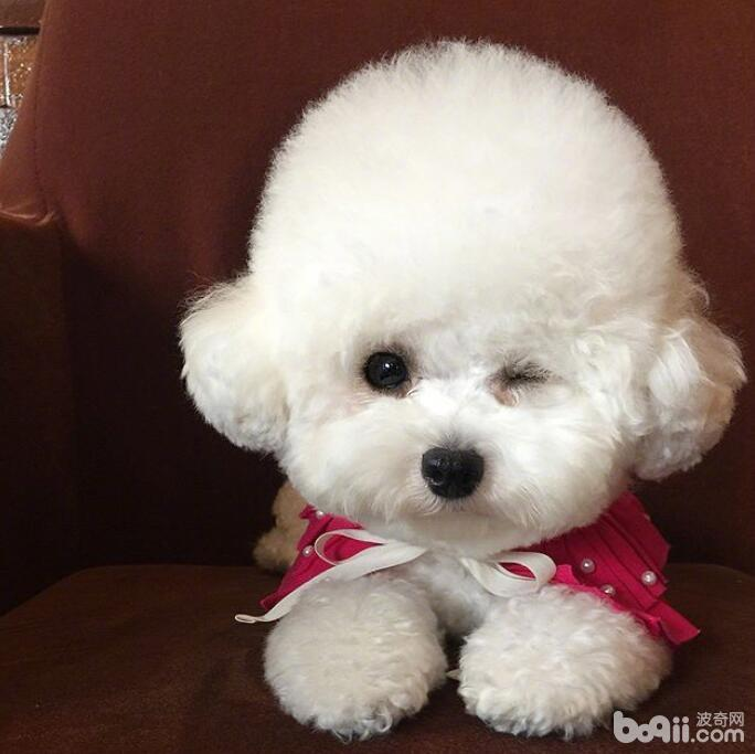 不掉毛的狗狗有哪些?这十大不掉毛的狗狗你知道吗?