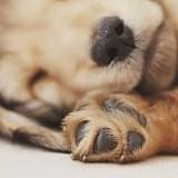狗狗鼻头不是黑色的,狗狗鼻头不是黑色的是生病了吗?