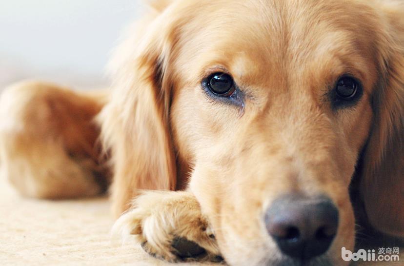 狗狗一直掉毛的原因,为什么狗狗一直掉毛?