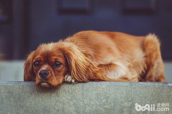 狗狗吐黄水有哪些原因?狗狗吐黄水治疗方法