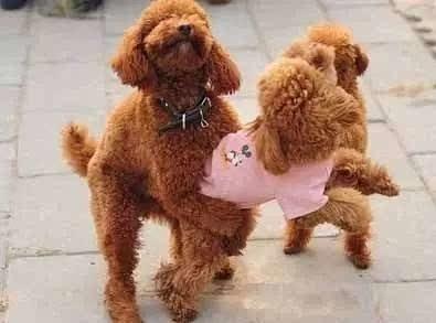 狗狗配种常用的三种方式介绍