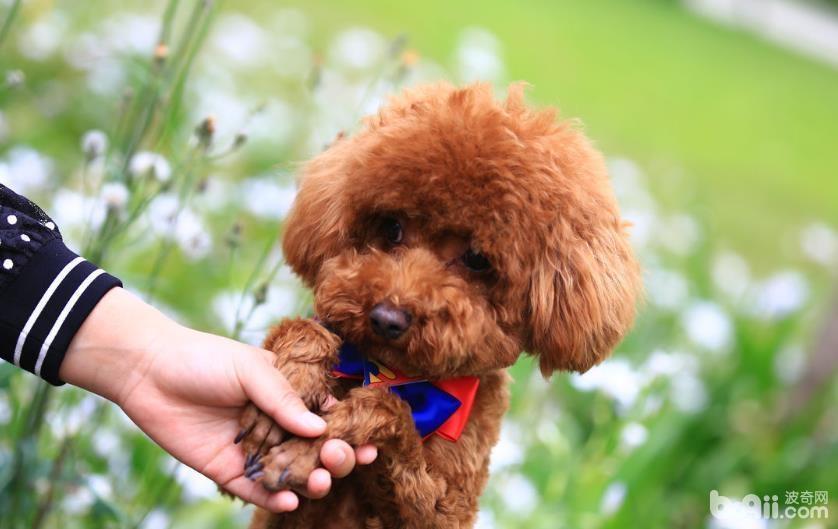 玩具贵宾犬应该如何区分真假?
