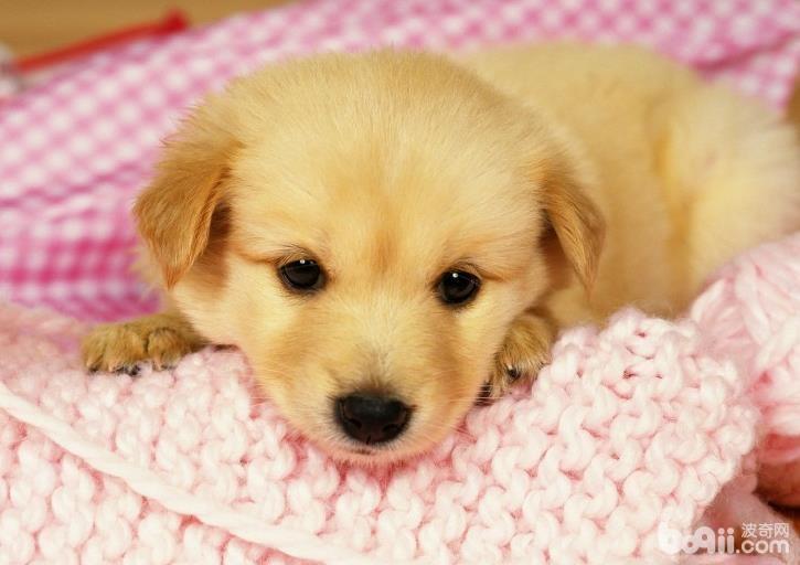 犬细小如何治疗,犬细小的预防方法