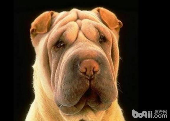 盘点十大体味重的狗狗,哪些狗狗的体味重?