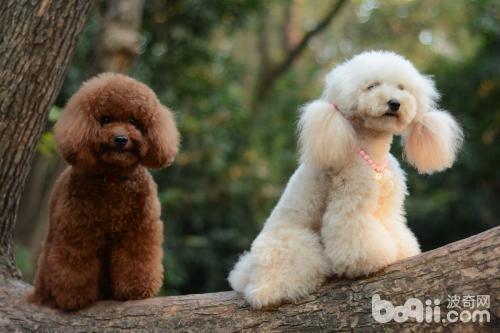 泰迪犬缺点,泰迪犬的缺点都有哪些?