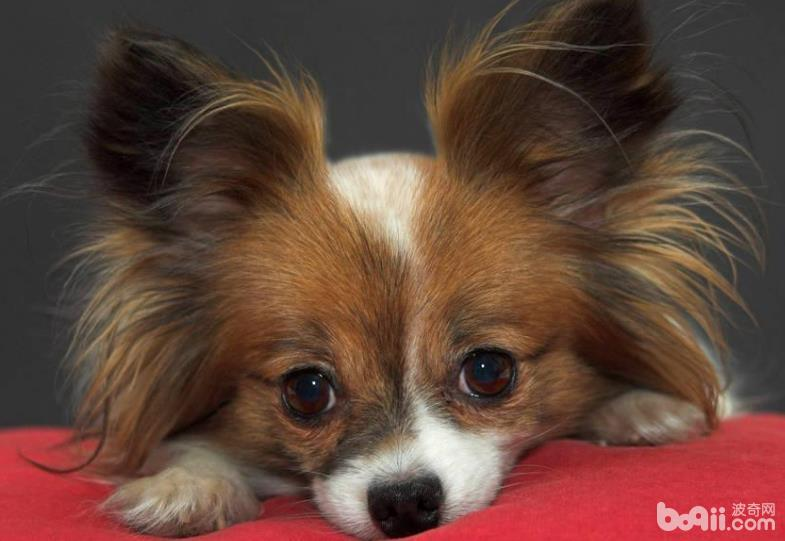 蝴蝶犬护理技巧,蝴蝶犬护理的注意事项