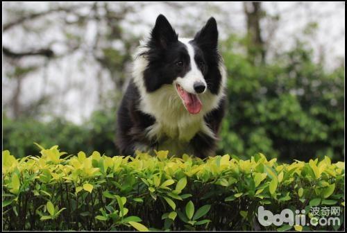 怎样选购一只好的边境牧羊犬?
