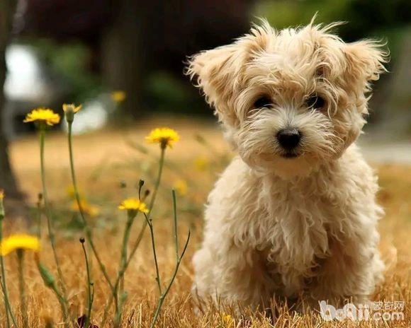 为什么狗狗夏季感染细小犬瘟的几率比较大?
