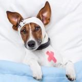 狗狗什么时候开始打疫苗?狗狗打疫苗应该注意什么?