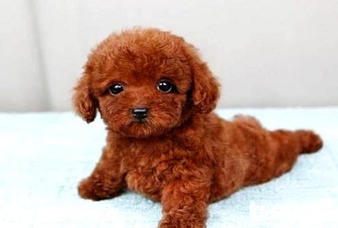 不同年龄段的泰迪犬喂养方法 泰迪幼犬喂养注意事项