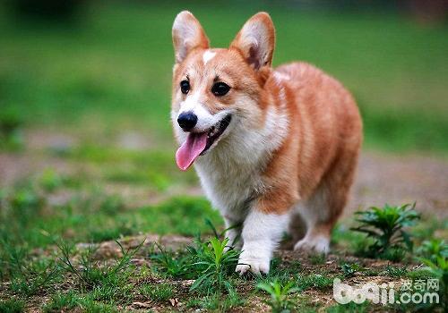 纯种柯基犬可以通过哪些方式辨别?