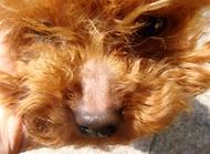 狗狗鼻子脱毛怎么办 狗狗鼻子脱毛的原因有哪些