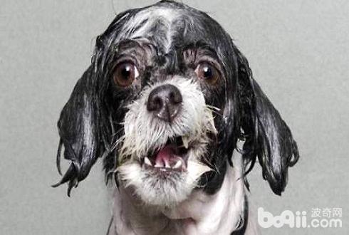 狗狗不喜欢洗澡怎么办 狗狗洗澡八大步骤让狗狗恋上洗澡
